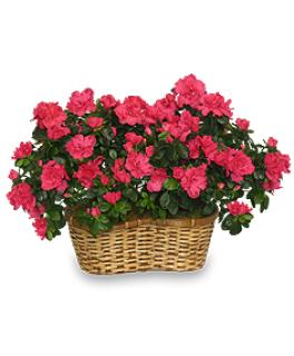 Hot Pink Azalea Basket
