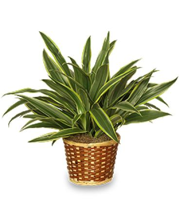 Striped Dracaena Plant