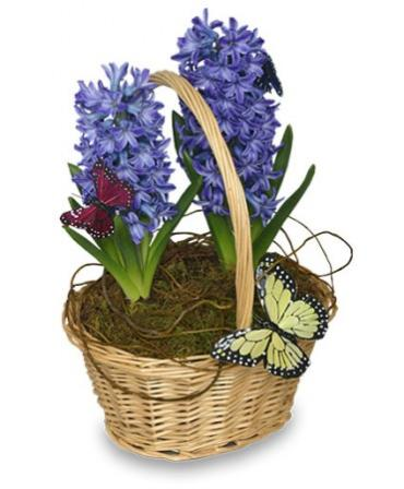 Early Spring Hyacinth